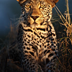 A magical sighting of Makepisi male leopard at night on our first night of our African safari adventure in the Timbavati Private Nature Reserve, greater Kruger Park, South Africa.