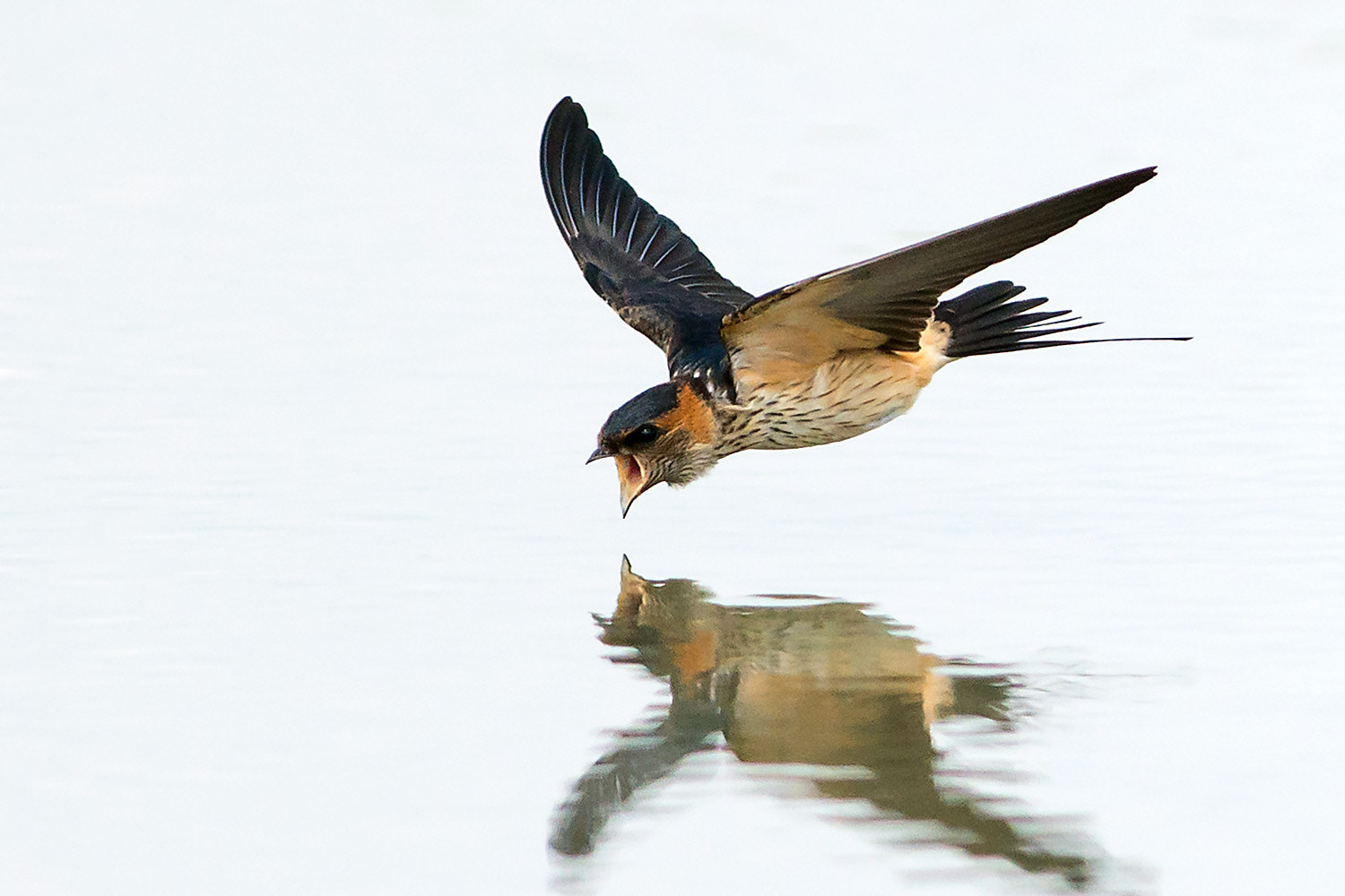 Photograph Red-rumped Swallow by Ken Cheung on 500px