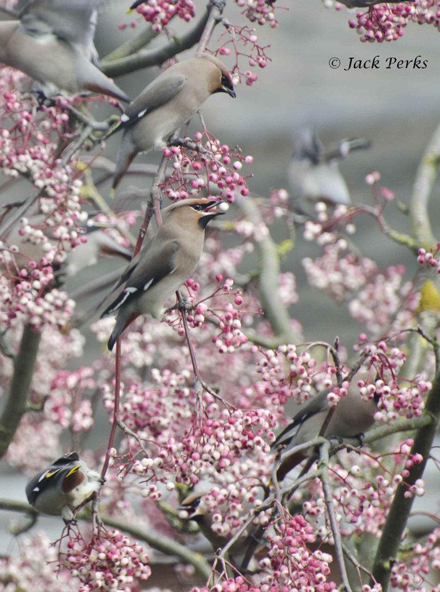Photograph Waxwings feeding by Jack Perks on 500px