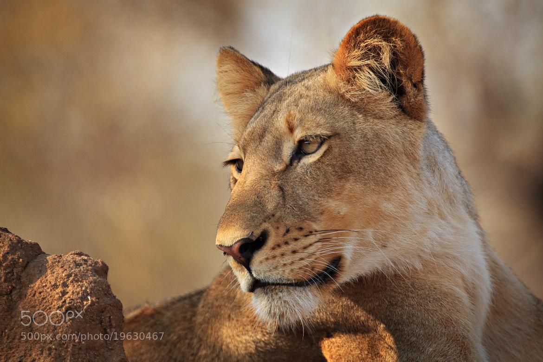 Photograph Majestic Timbavati Lioness by Xenedis  on 500px
