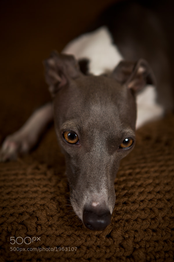 Bella, our Italian Greyhound happy to pose for a couple minutes.