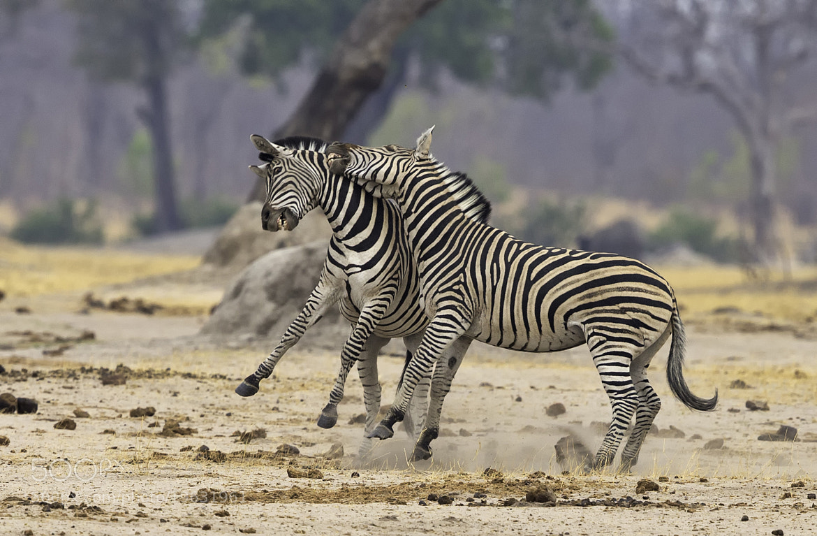 Photograph Zebra Scrap 3 by Ken Watkins on 500px