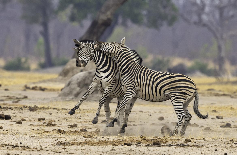 Photograph Zebra Scrap 3 by Ken Watkins on 500px