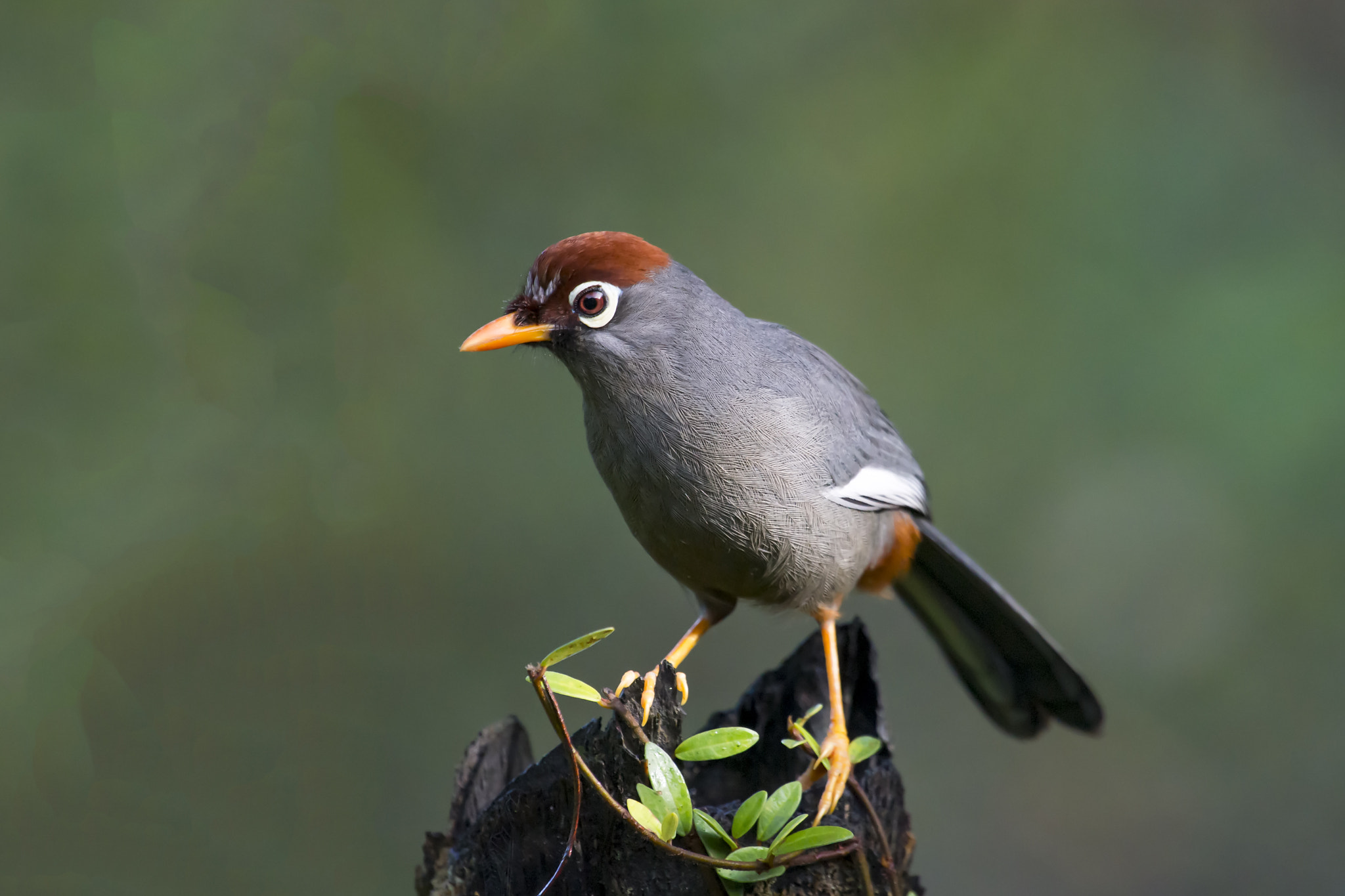 Photograph Chestnut-capped Laughingthrush by Allan Seah on 500px