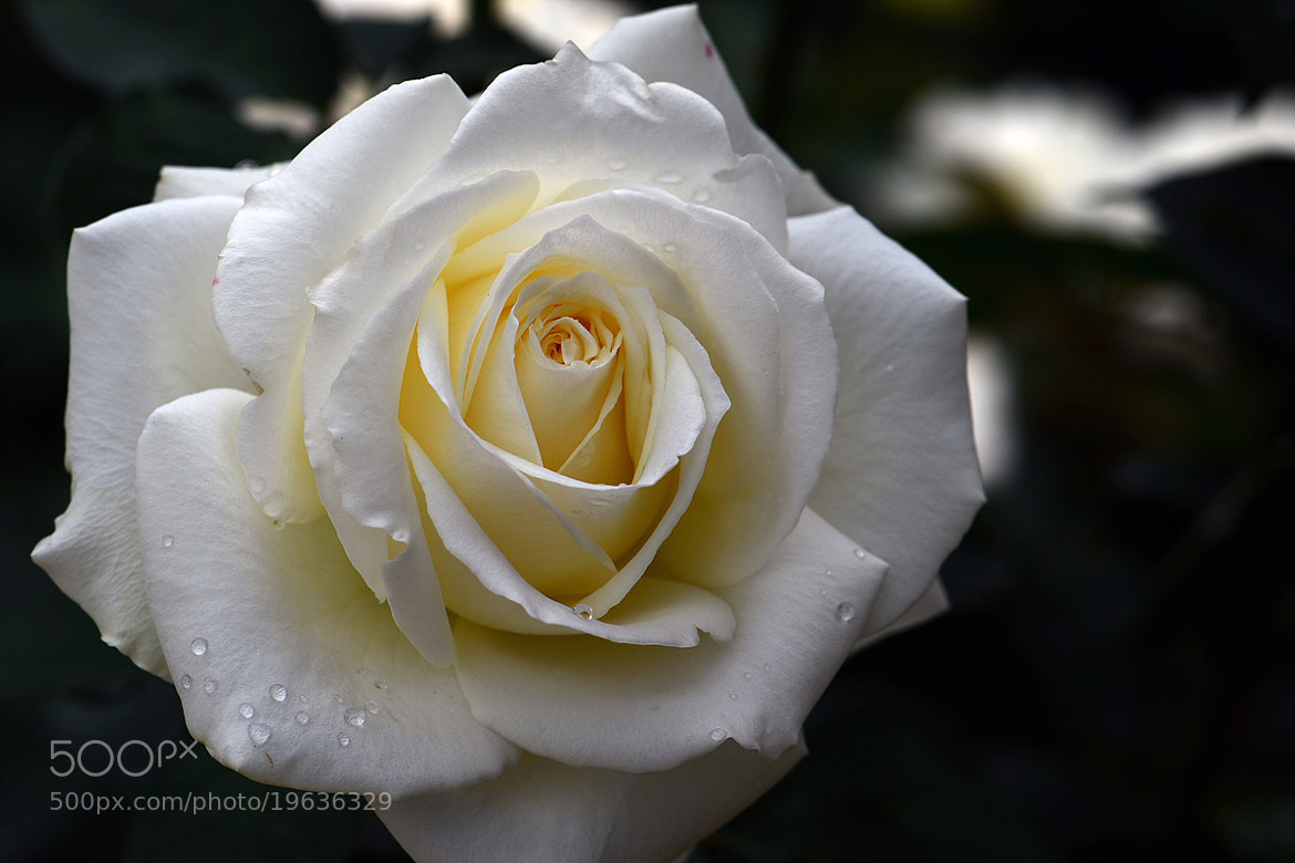 Photograph White Rose by Young Sung Bae on 500px