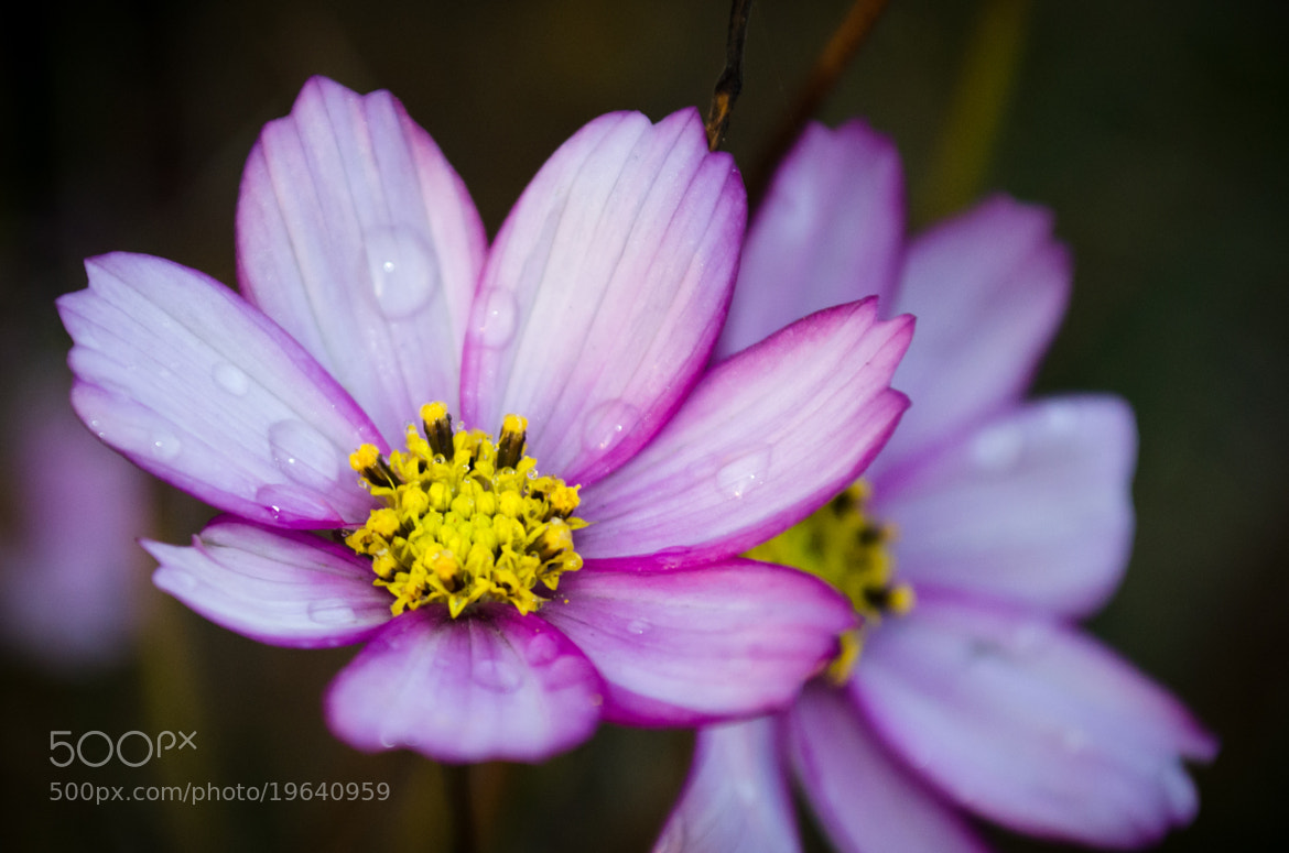 Photograph Purple flower with dew on it by Soleil Neon on 500px