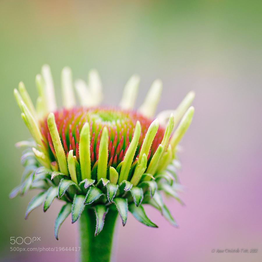 Photograph The Beginnings of Echinacea Flower by Anna Omiotek-Tott on 500px