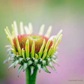 The Beginnings of Echinacea Flower by Anna Omiotek-Tott (annatott)) on 500px.com
