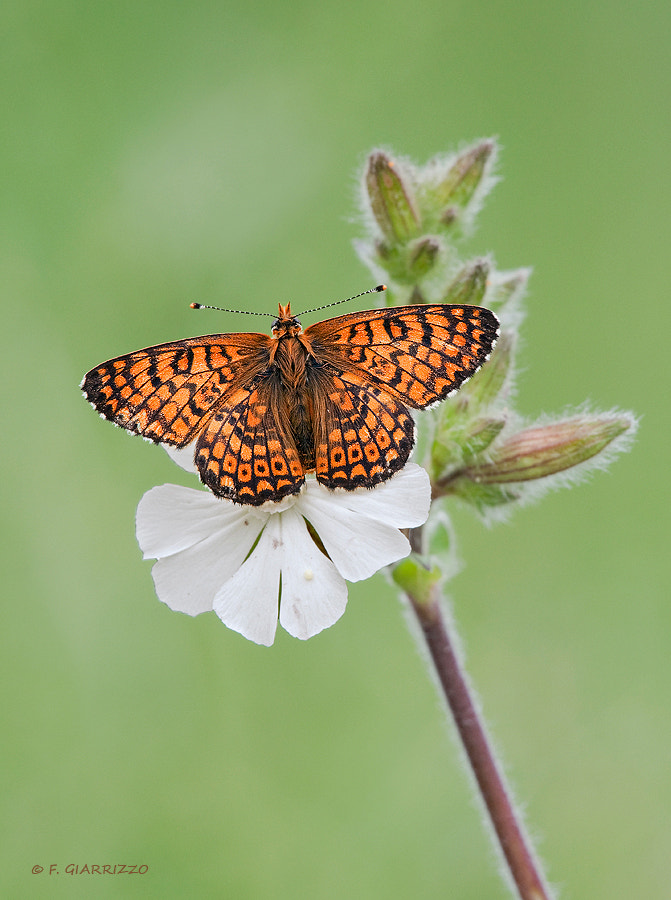 Photograph Fritillary by Fabio Giarrizzo on 500px