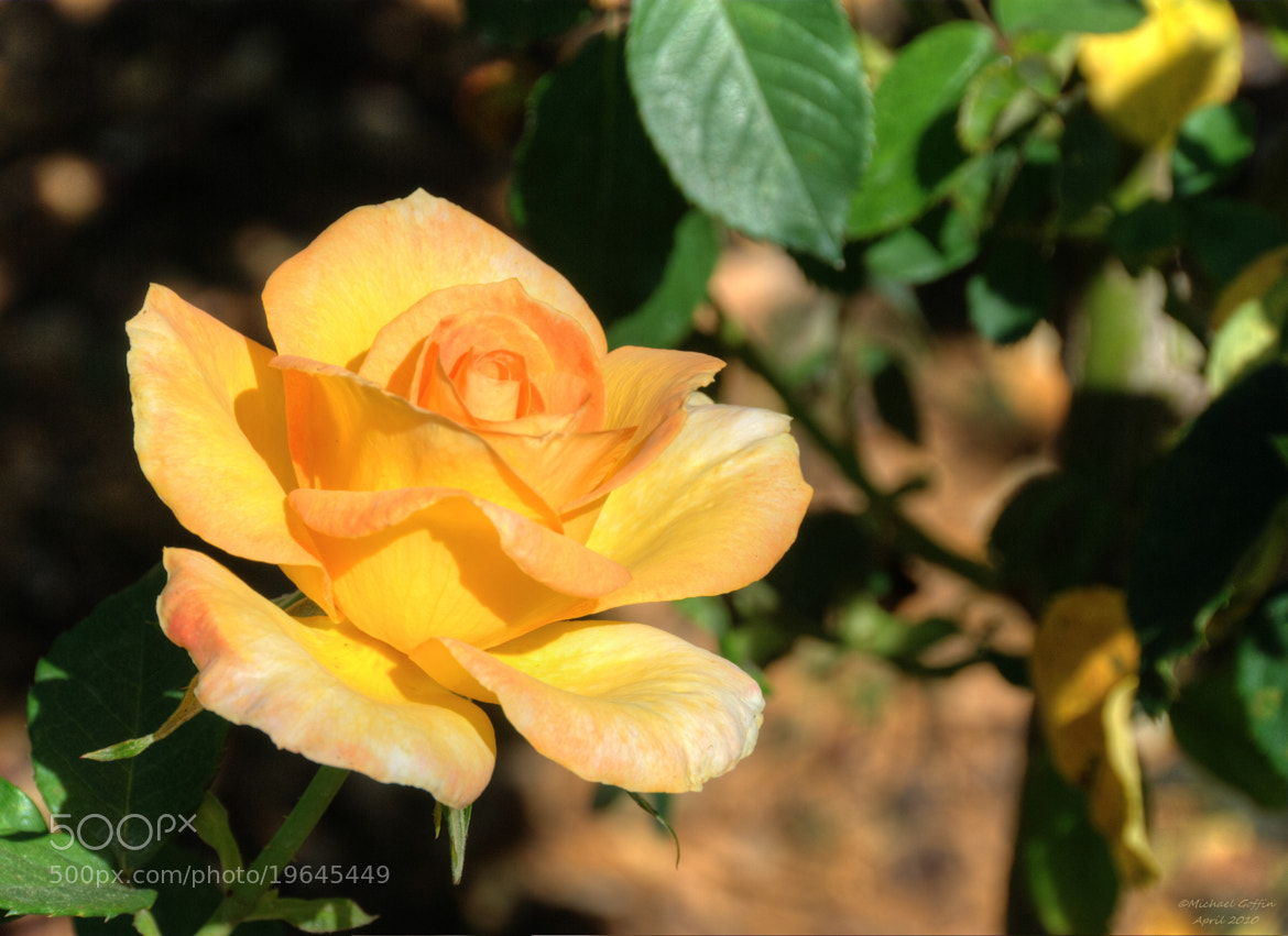 Photograph Yellow Rose by MICHAEL GOFFIN on 500px