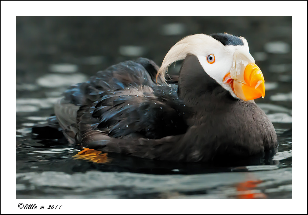 Photograph Puffin Love by little m  on 500px