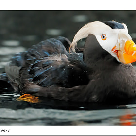 Puffin Love by little m  (littlem)) on 500px.com