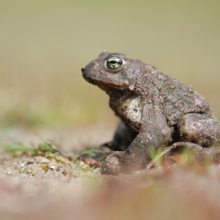 Natterjack toad - Epidalea, Canon EOS 40D, Canon EF 100mm f/2.8L Macro IS USM