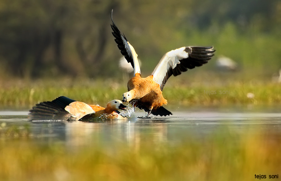 Photograph Rudy shelduck  by Tejas Soni on 500px