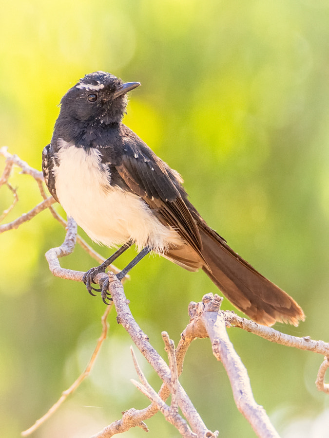 Willie Wagtail by Paul Amyes on 500px.com