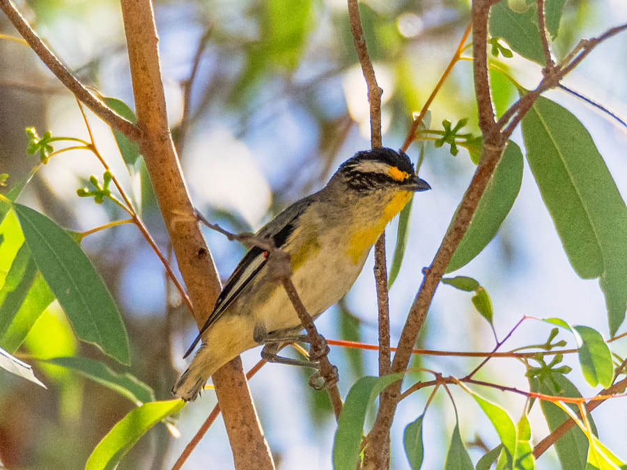Striated Pardalote by Paul Amyes on 500px.com