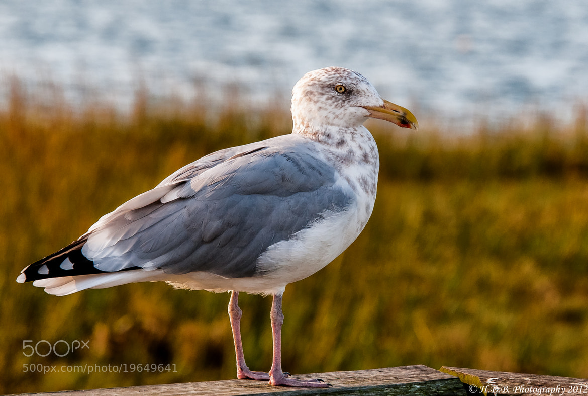 Photograph Just A Seagull by Harold Begun on 500px