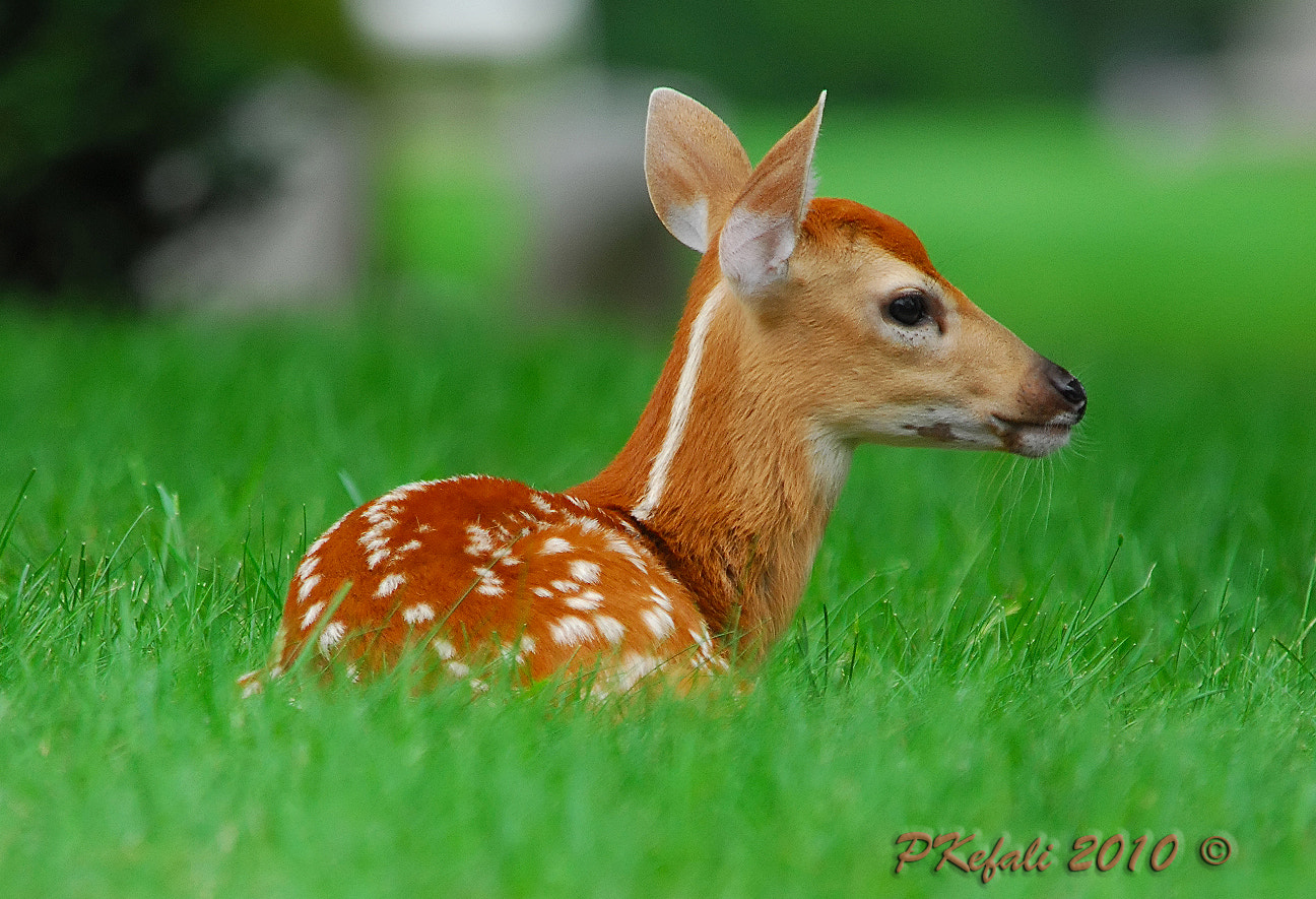 Photograph Fawn - Profile by Peter Kefali on 500px