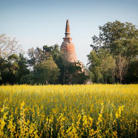 Ancient pagoda is embraced by sunn hemp meadows.