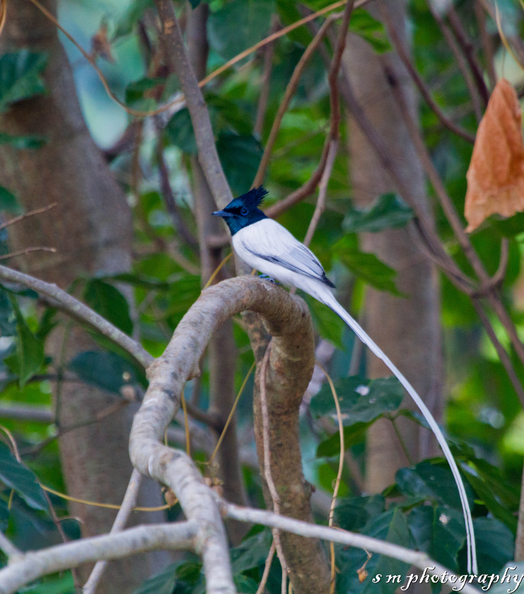 Photograph Asian Paradise Flycatcher (male) by Santosh Mulik on 500px