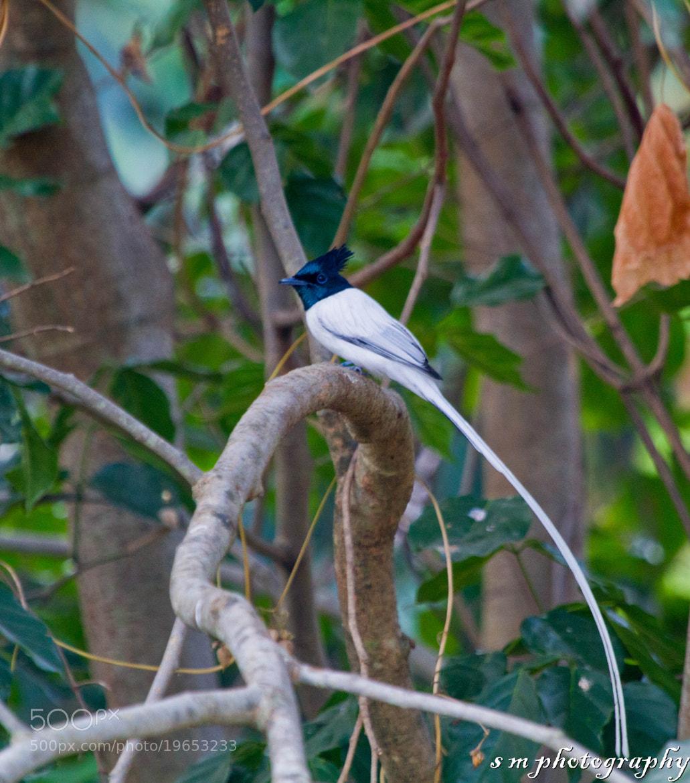 Photograph Asian Paradise Flycatcher (male) by Santosh Mulik on 500px