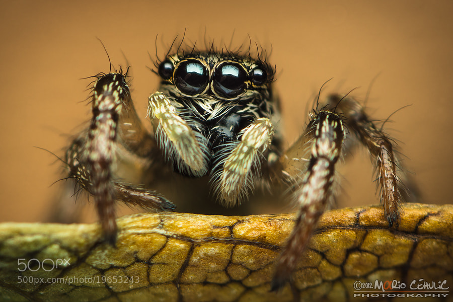 Photograph Salticus scenicus jumping spider by Mario Čehulić on 500px