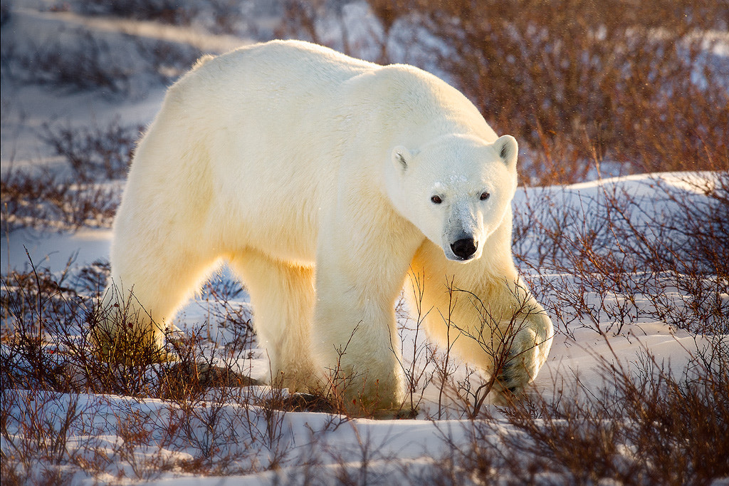 Photograph Arctic Tough Guy by Steve Perry on 500px