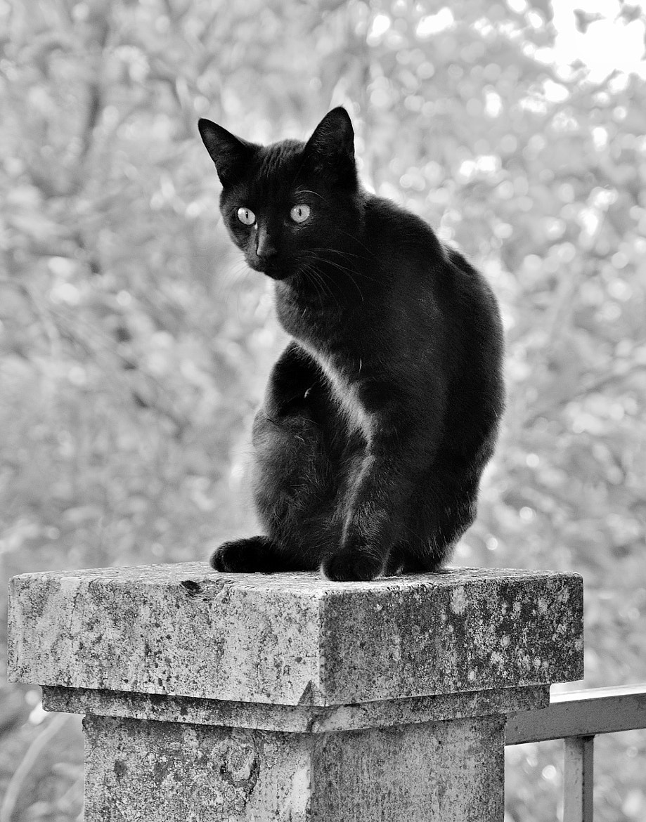 Photograph Black Cat in Black and White from Montepulciano... by Renato Pantini on 500px
