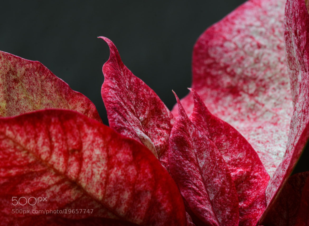 Photograph poinsettias by Ormay Istvan on 500px