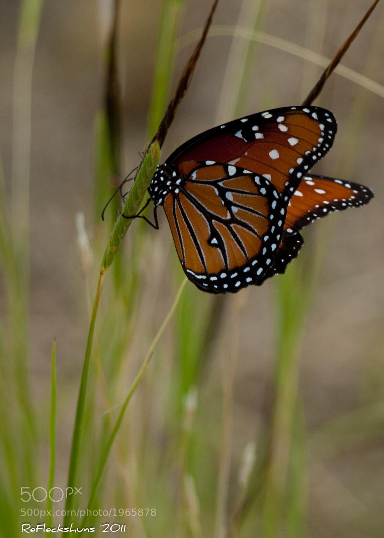 Photograph Monarch Butterfly by Stuart Fleck on 500px