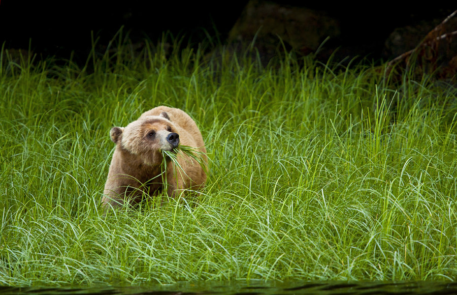 Photograph Grizzly bear by Neil Aldridge on 500px