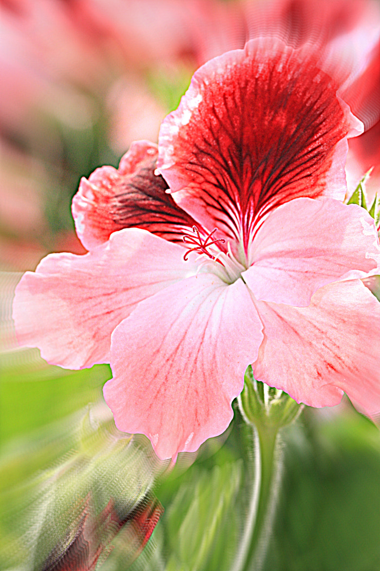 Photograph Dianthus chinensis by Angela Bruno on 500px