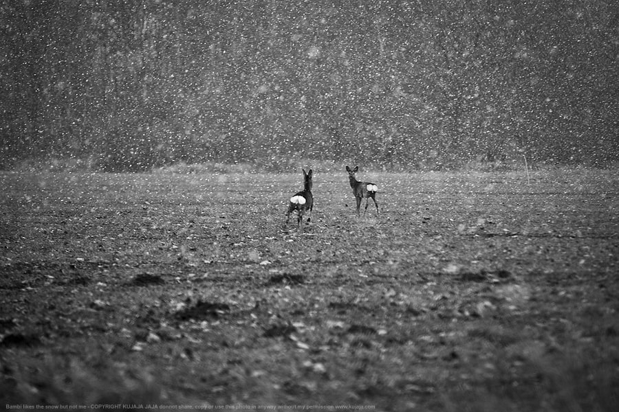 Photograph Bambi loves the snow, but not me by K J on 500px