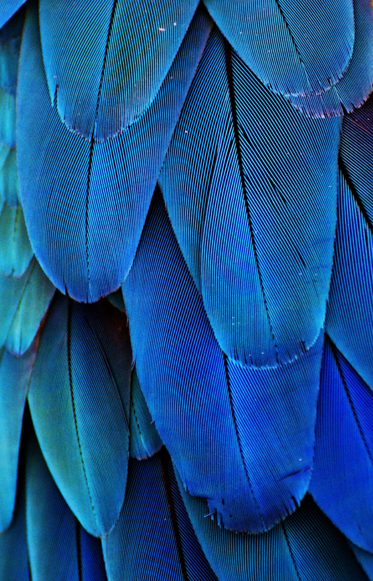 Photograph Feathers (Blue) by Michael Fitzsimmons on 500px
