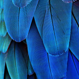 Feathers (Blue) by Michael Fitzsimmons (MFitz)) on 500px.com