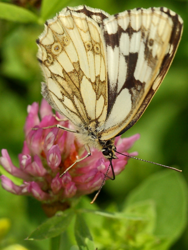 Photograph marbled white  by colin beeley on 500px