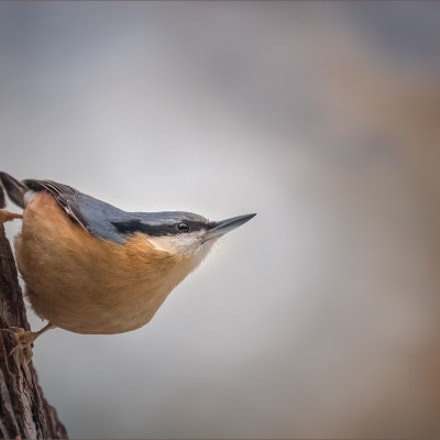 Kleiber - Eurasian nuthatch, Canon EOS 7D MARK II, Canon EF 400mm f/4 DO IS II USM