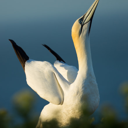 Northern Gannet showing off, Canon EOS 5D MARK III, Canon EF 200-400mm f/4L IS USM