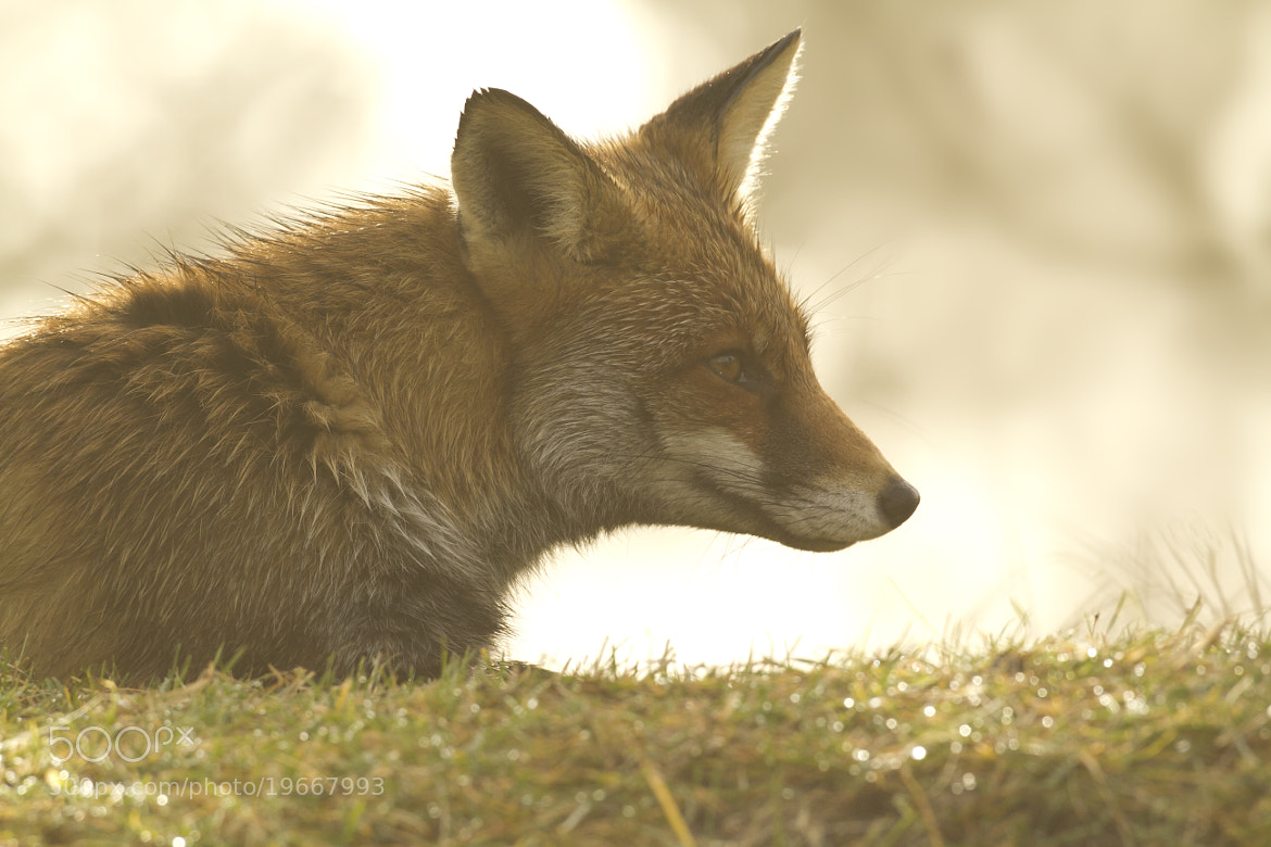 Photograph Red fox in the sunlight by Dennis Molenaar on 500px