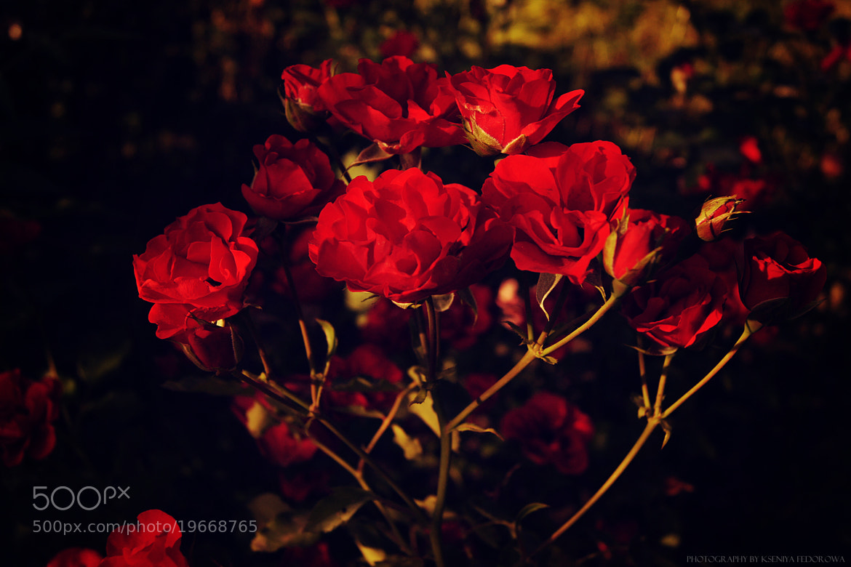 Photograph Red Red Roses by Kseniya Fedorowa on 500px