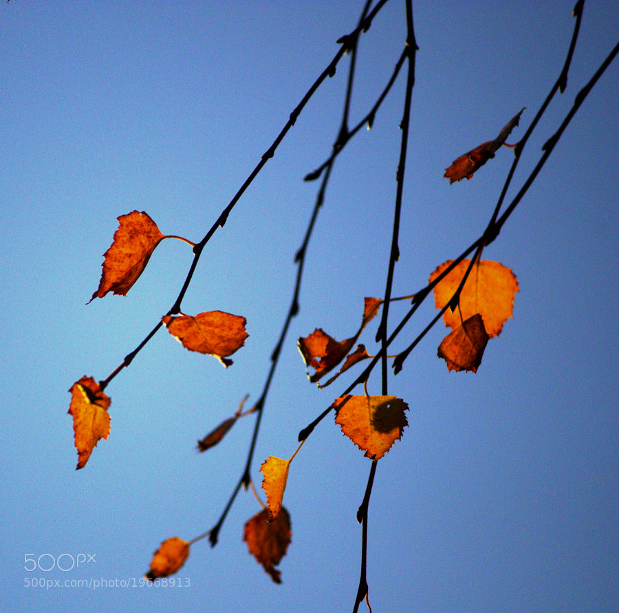 Photograph Birch Leaves by Chrissie Barrow on 500px