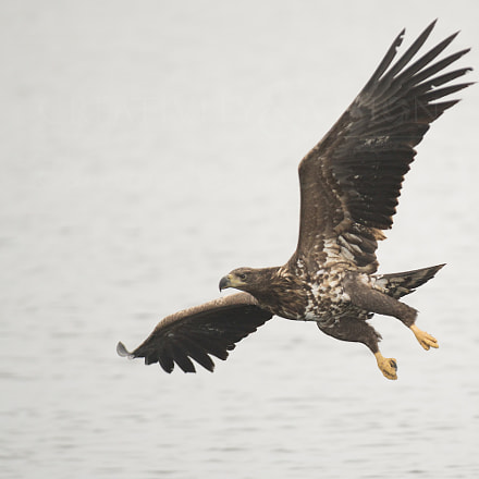 White tailed eagle, RICOH PENTAX K-1, Sigma EX APO 100-300mm F4 IF