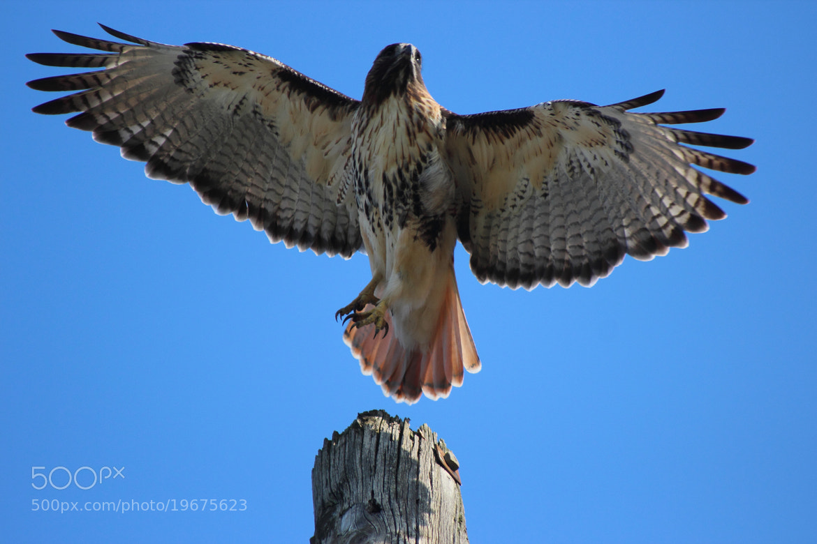 Photograph being hawkish by Dmitry Poglot on 500px