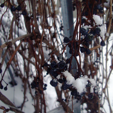Snow-covered berries., Sony DSC-W200
