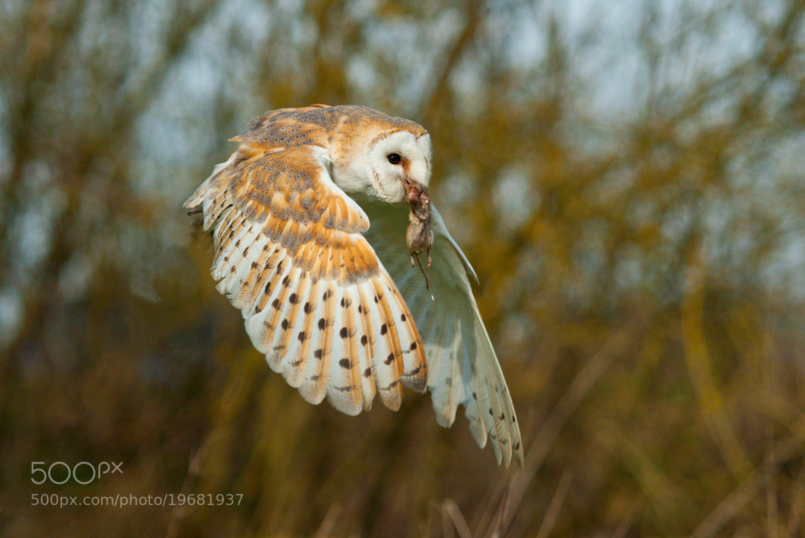 Photograph -- Barn Owl -- by Darren Whiteley on 500px