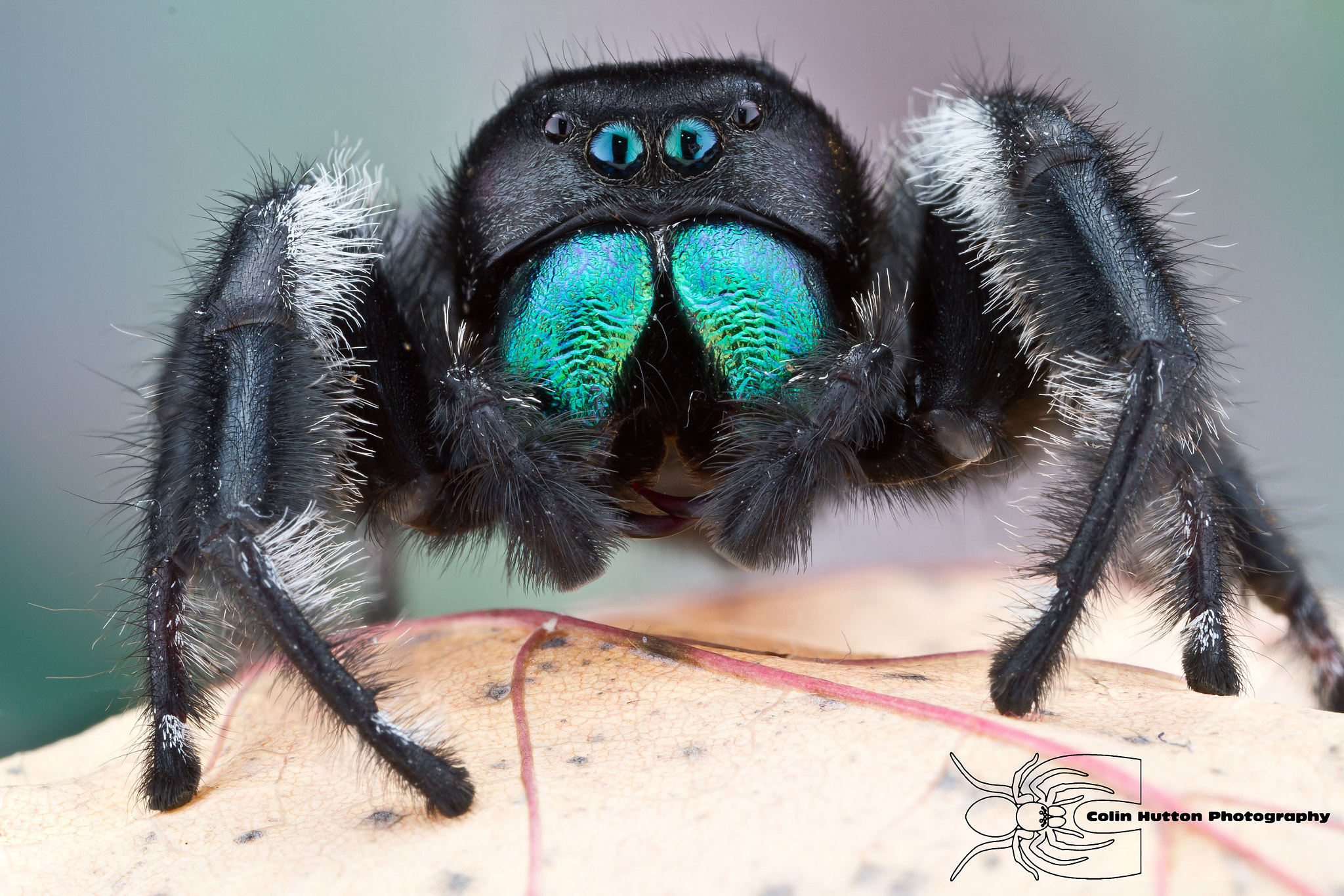 Photograph Phidippus regius - Regal Jumping spider by Colin Hutton on 500px