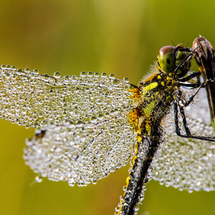 Dragonfly Morning, Canon EOS 6D, Tamron SP AF 180mm f/3.5 Di Macro