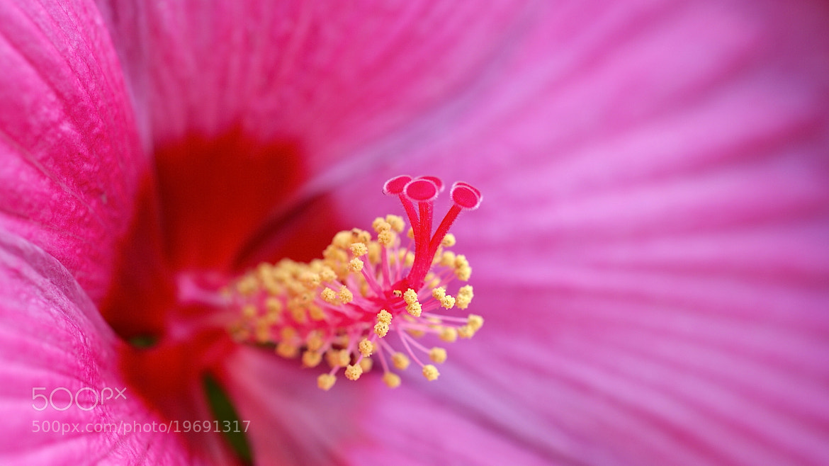 Photograph Pink Swirl Hibiscus  by Zack Parton on 500px