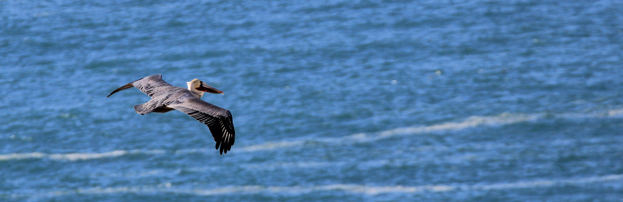 Photograph Pelican over the Pacific by Parker Jackson on 500px