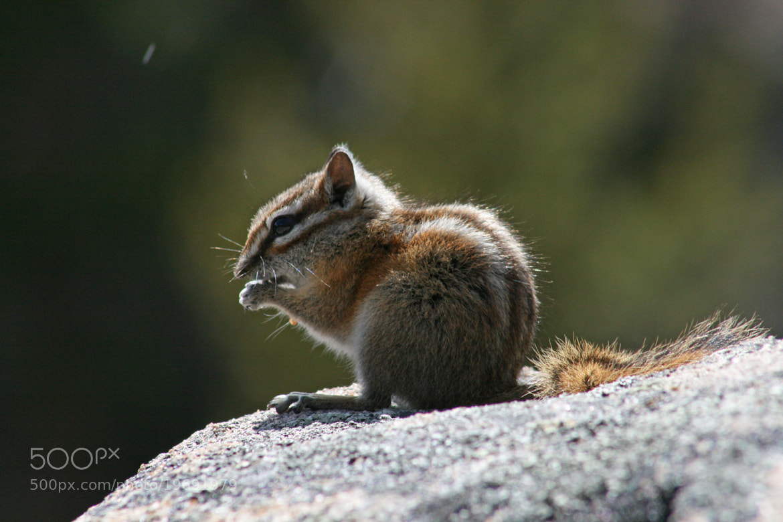 Photograph Chipmunk in Rocky Mountain Nat'l Park by Parker Jackson on 500px